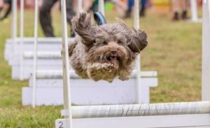 woody doing flyball